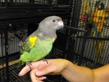 Cum sa-ti inveti papagalul sa stea pe mana