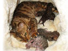 nasterea la pisici