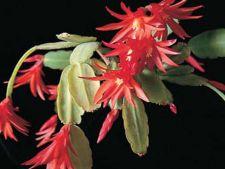 Cum sa ingrijesti Cactusul de Craciun
