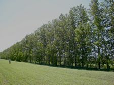 Horoscop arboricol, Plop