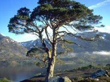 Horoscop arboricol, Pin
