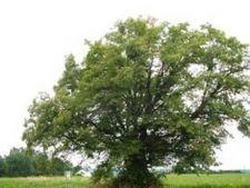 Horoscop arboricol, Tei