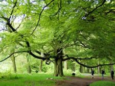 Horoscop arboricol, Fag