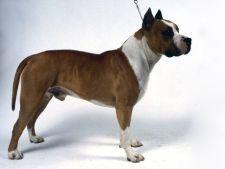 pittbull american terrier