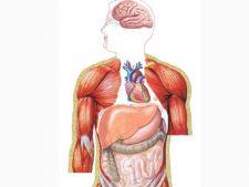 Cele mai importante organe din interiorul corpului uman (I)