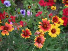 targ flori