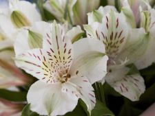 Ce trebuie sa stii despre plantarea crinilor