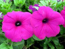 Petunia – planta gradinilor parfumate