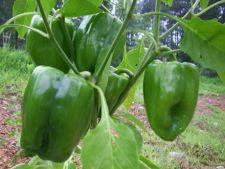 Cum sa plantezi ardei gras