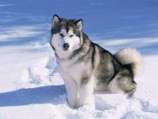 Malamut Alaska
