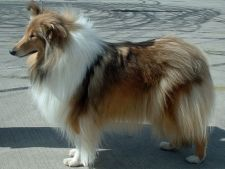 Rough Collie sau Collie cu parul lung