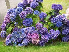 Hortensia, frumoasa planta otravitoare