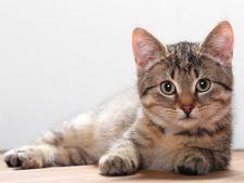 pisica purici