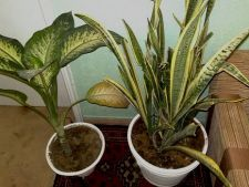 plante hol
