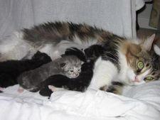 pisica ce alapteaza