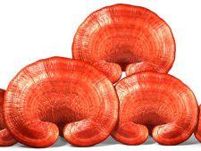 Ganoderma, ciuperca medicinala minune