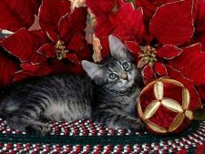pisica craciun