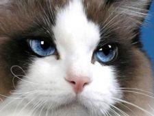 pisici ragdoll