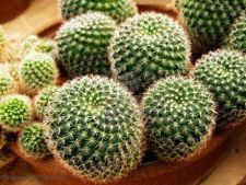 inmultire cactus