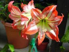 Cele mai periculoase flori de camera