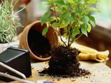 planta ghiveci