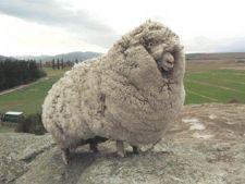 Oaia cu cea mai mare blana din lume a decedat