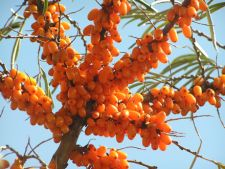 Catina, planta medicinala miraculoasa
