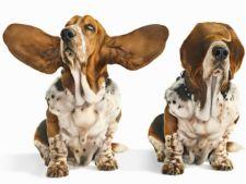Cum sa previi infectia urechii la caini