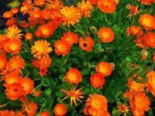 3 plante medicinale usor de cultivat in gradina