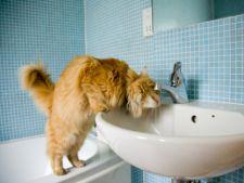 Cum sa identifici si tratezi bolile de rinichi la pisici