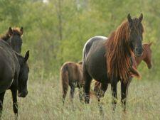 Localnicii din Letea, revoltati de intoarcerea cailor