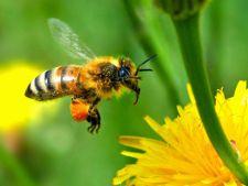 Cum sa atragi albinele