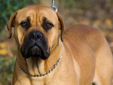 Top 5 cei mai buni caini de paza