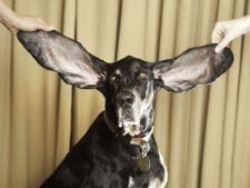 Cainele cu cele mai lungi urechi din lume