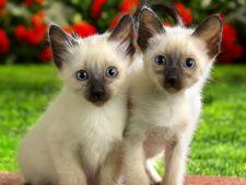 5 dintre cele mai populare rase de pisici