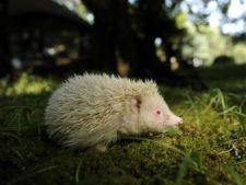 Vezi cum arata un arici albinos