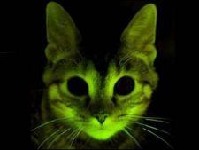 Pisici fosforescente, pentru combaterea virusului HIV