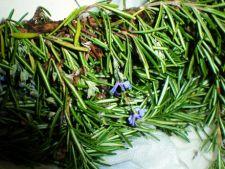 Ingrijirea plantelor aromatice lemnoase: Cimbru, Rozmarin, Salvie