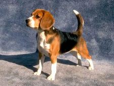 Tot ce trebuie sa stii despre Beagle