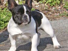 Bulldogul francez - afectuos, dar incapatanat