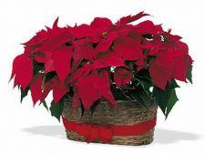 Plante care infloresc pe timp de iarna