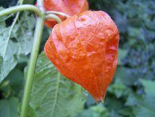 Physalis, planta cu lampioane portocalii