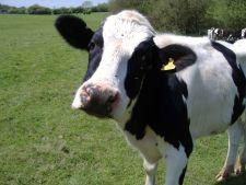 Vaci irlandeze pentru copiii romani