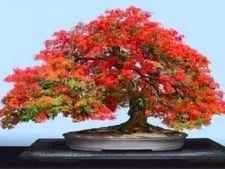 Bonsaiul, simbol al aristocratiei