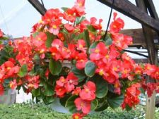 Top 7 plante pentru ghivecele suspendate