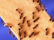 Cum sa scapi de furnicile din casa