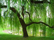 Copaci care cresc repede: salcia
