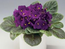 Cum sa ai grija de violeta africana