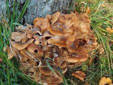 Gheba de radacina, ciuperca periculoasa pentru plantele tale