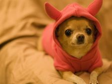 Chihuahua - caine sau bibelou?